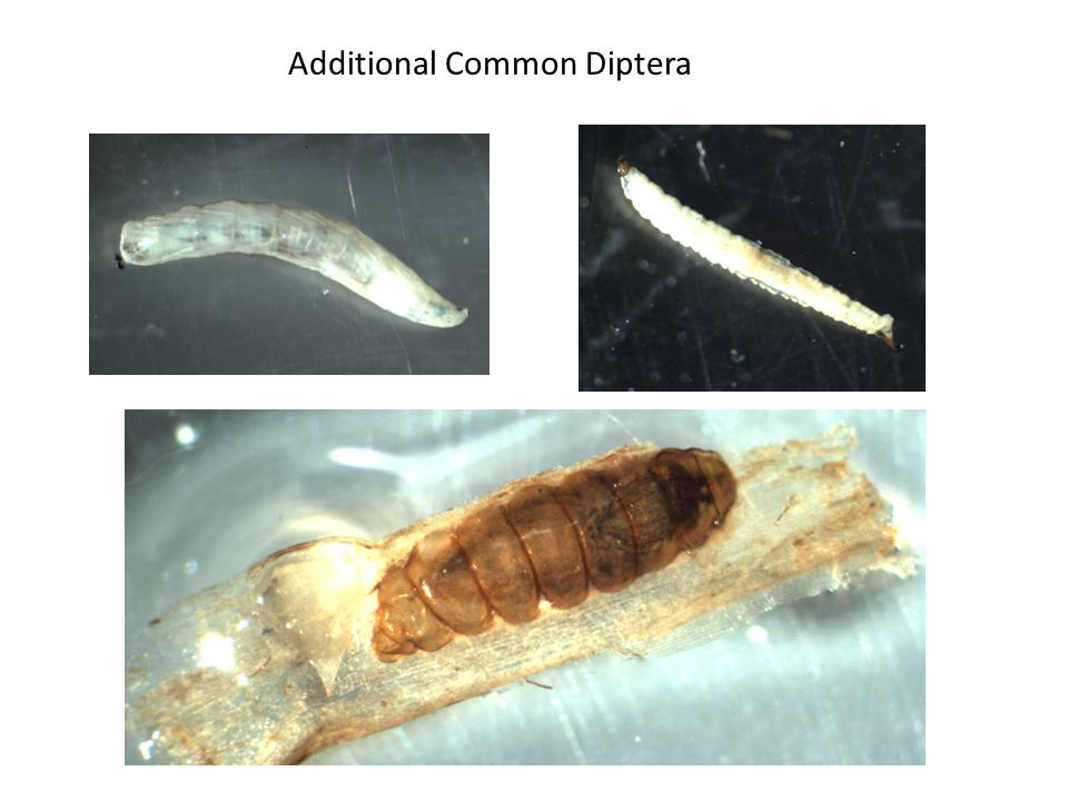 Additional Common Diptera