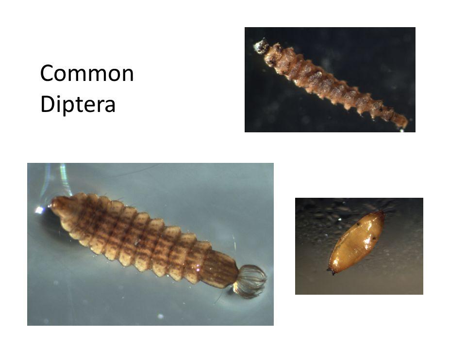 Common Diptera