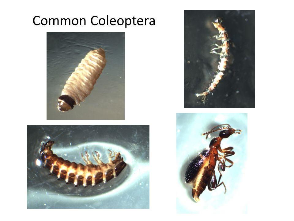 Common Coleoptera