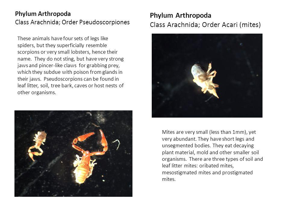 Class Arachnida; Order Acari (mites)