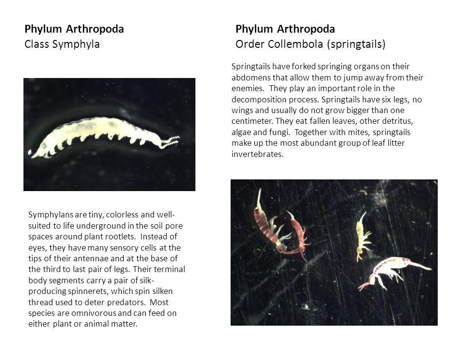 Order Collembola (springtails)