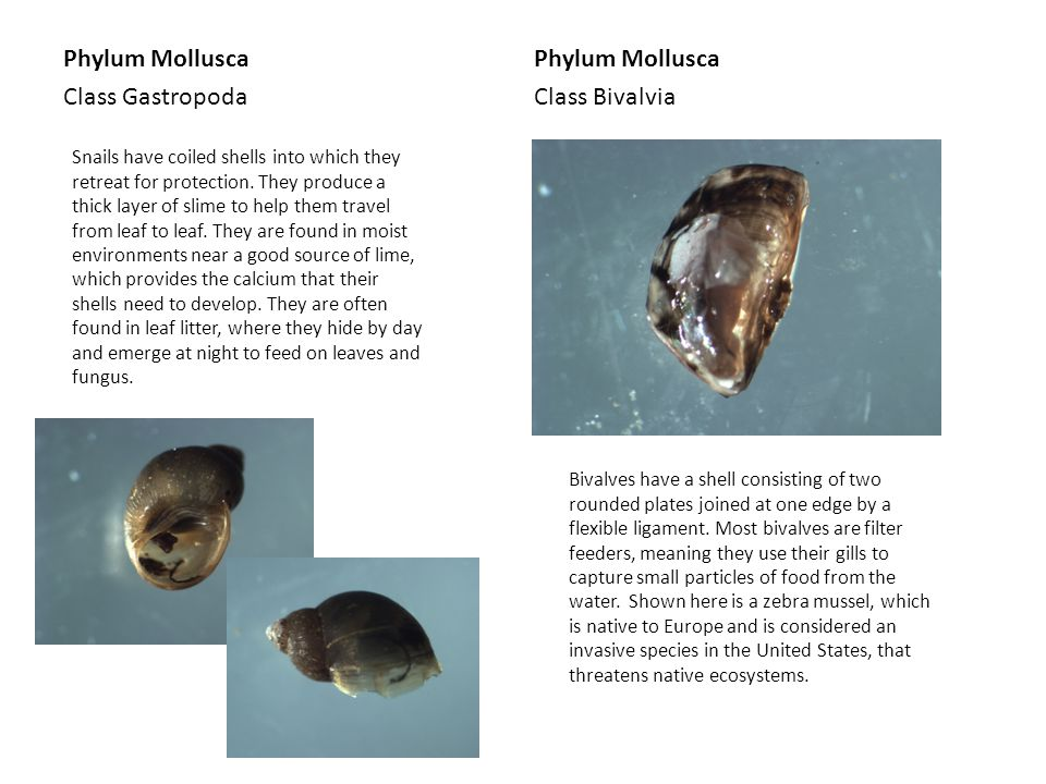 Phylum Mollusca Class Gastropoda Phylum Mollusca Class Bivalvia