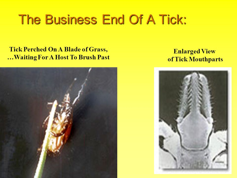 The Business End Of A Tick: