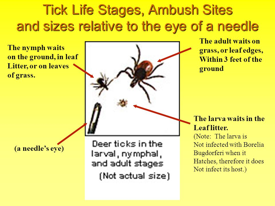 Tick Life Stages, Ambush Sites and sizes relative to the eye of a needle