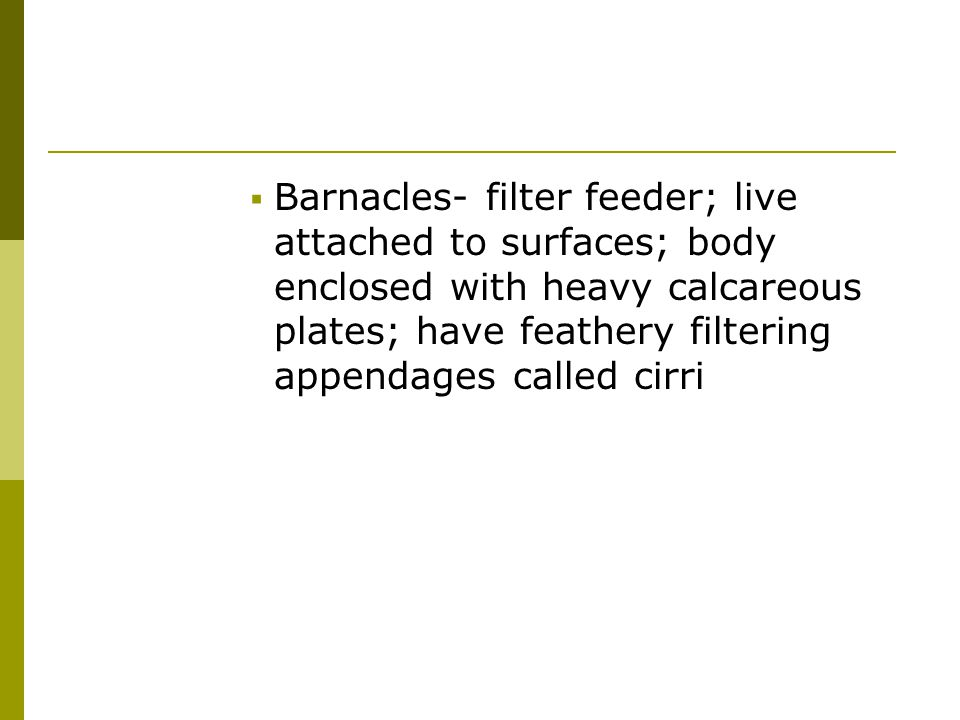 Barnacles- filter feeder; live attached to surfaces; body enclosed with heavy calcareous plates; have feathery filtering appendages called cirri