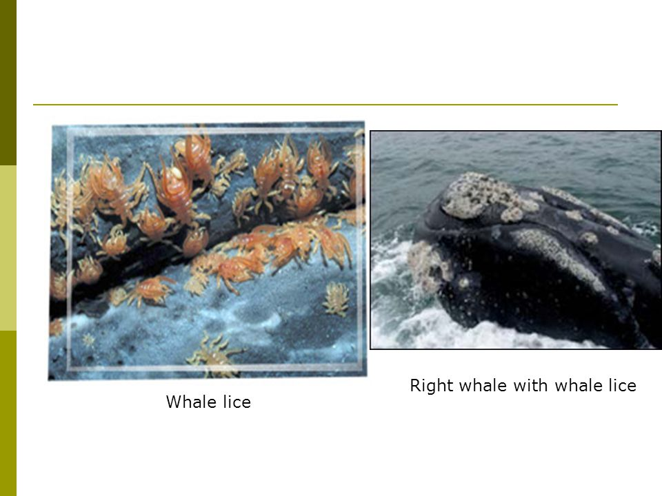 Whale lice Right whale with whale lice