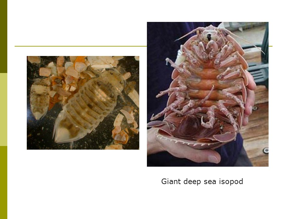 Giant deep sea isopod