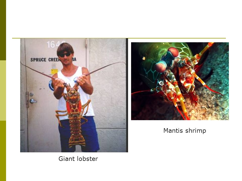 Giant lobster Mantis shrimp