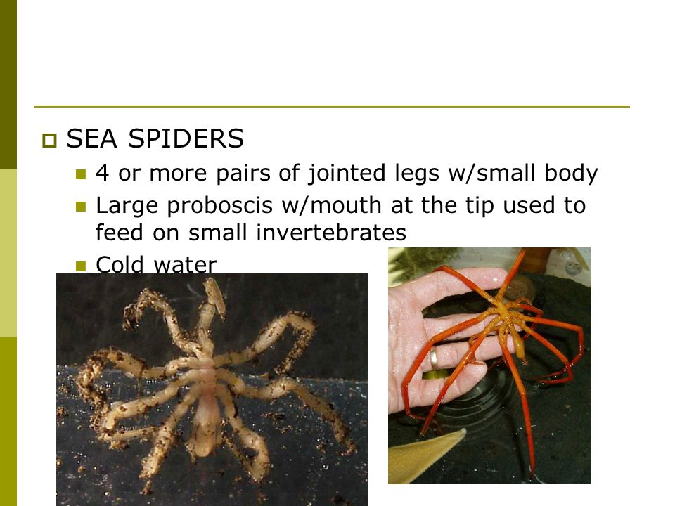 SEA SPIDERS 4 or more pairs of jointed legs w/small body