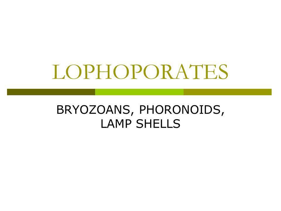 BRYOZOANS, PHORONOIDS, LAMP SHELLS
