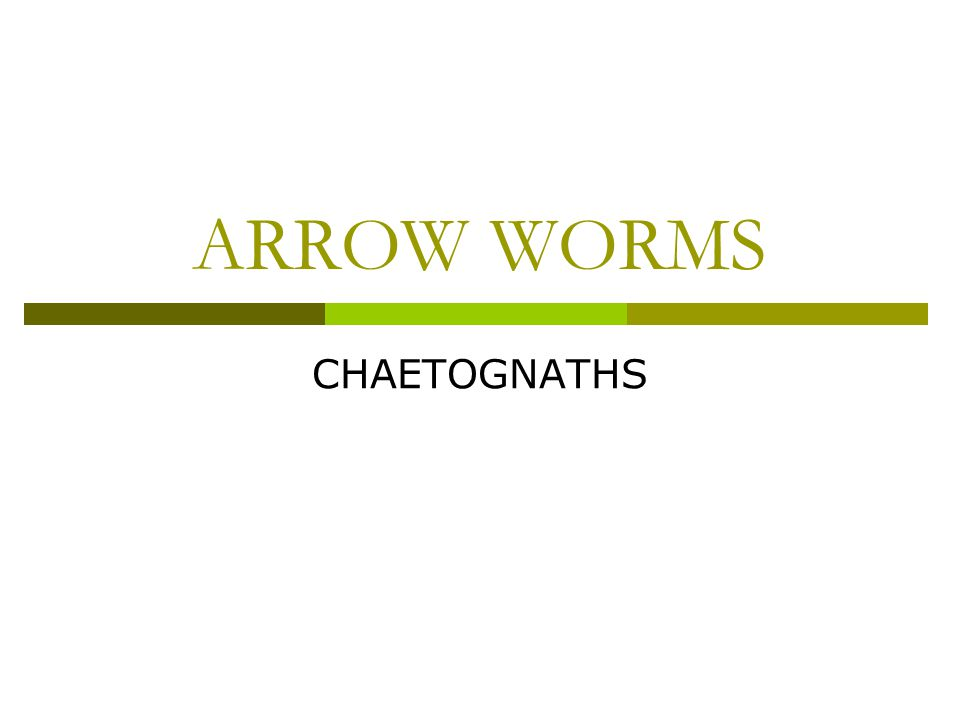 ARROW WORMS CHAETOGNATHS