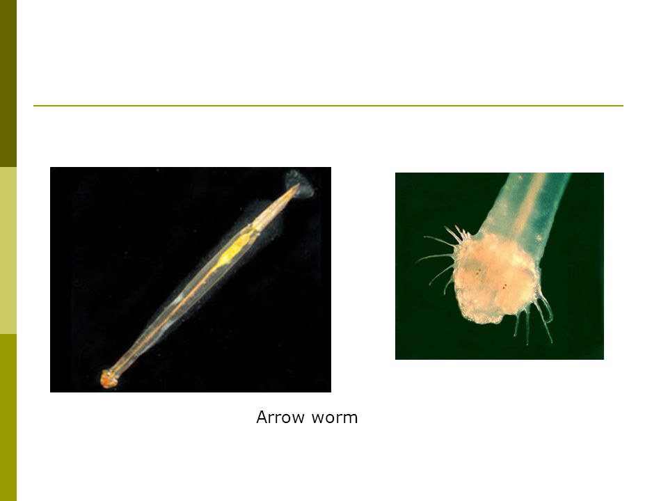 Arrow worm