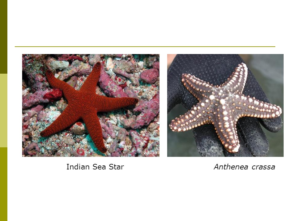 Indian Sea Star Anthenea crassa