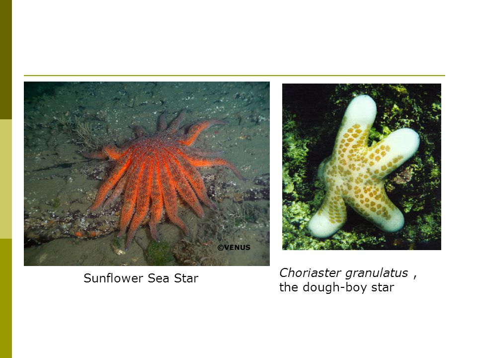 Sunflower Sea Star Choriaster granulatus , the dough-boy star