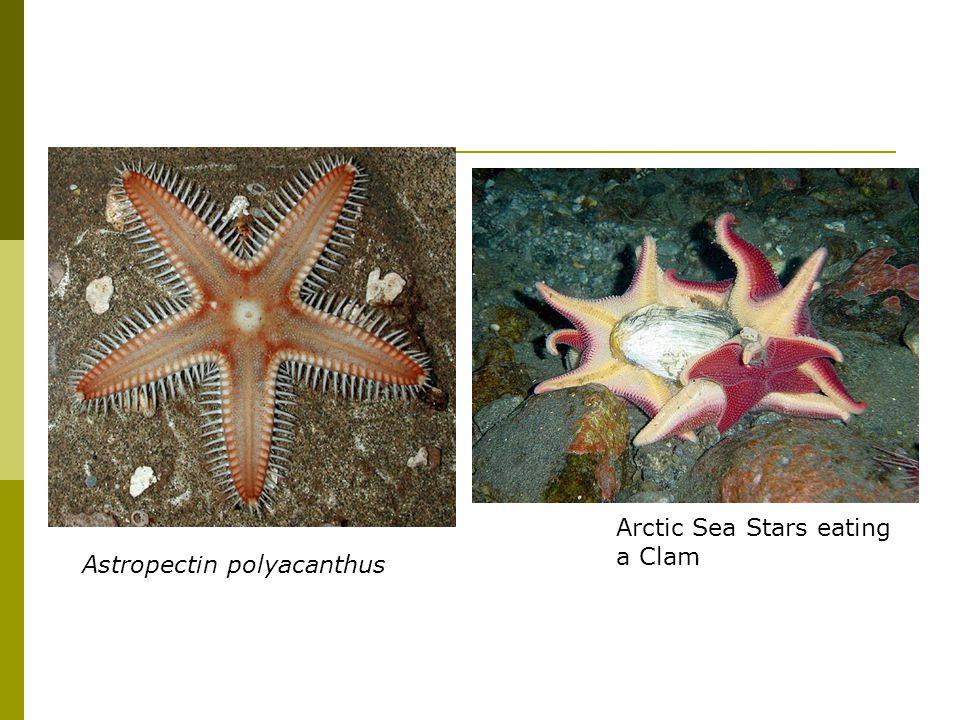 Astropectin polyacanthus