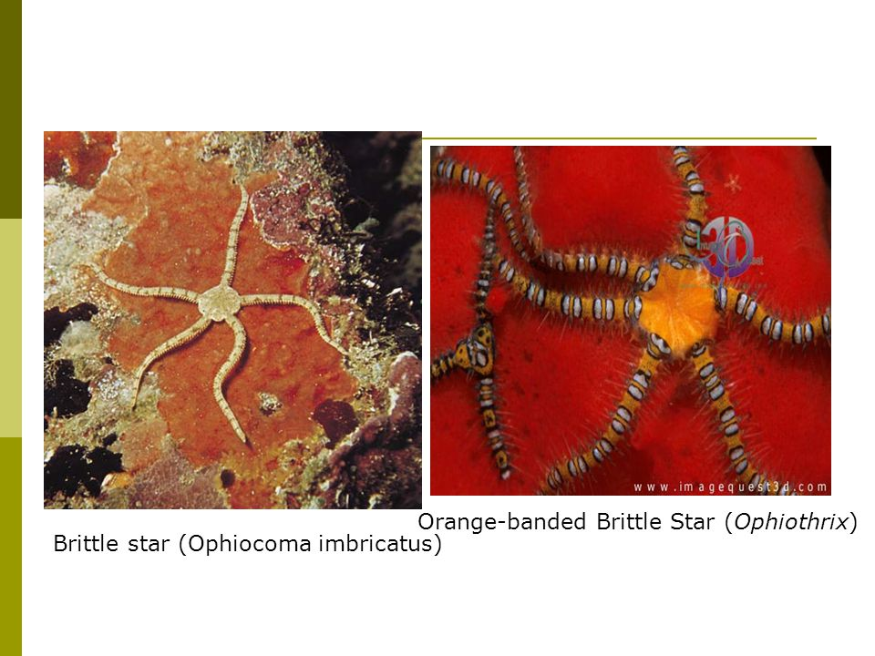 Brittle star (Ophiocoma imbricatus)