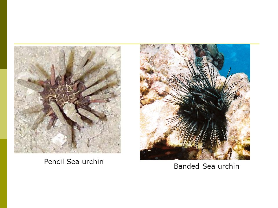 Banded Sea urchin Pencil Sea urchin