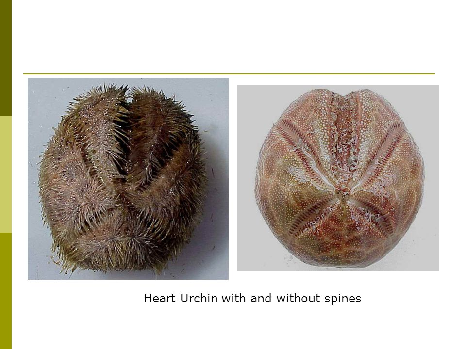 Heart Urchin with and without spines