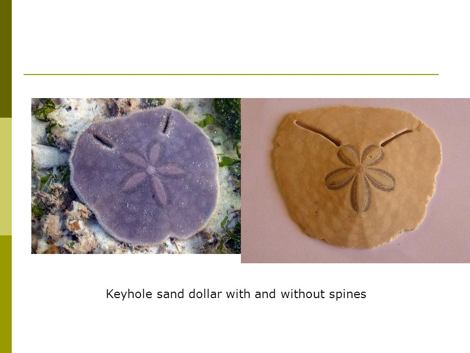 Keyhole sand dollar with and without spines