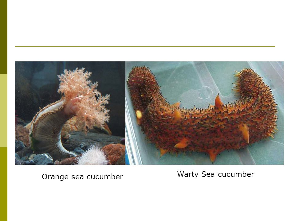 Orange sea cucumber Warty Sea cucumber