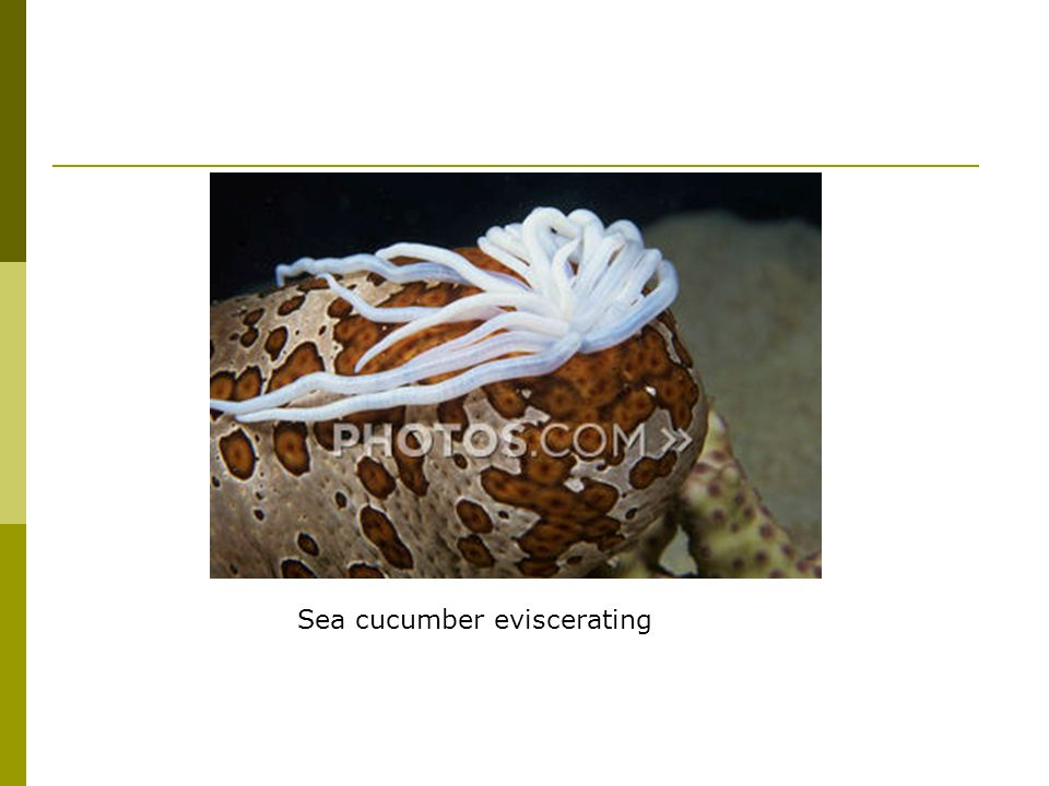 Sea cucumber eviscerating