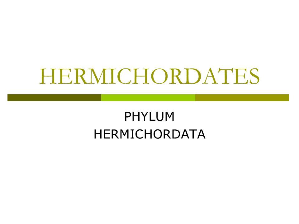 HERMICHORDATES PHYLUM HERMICHORDATA