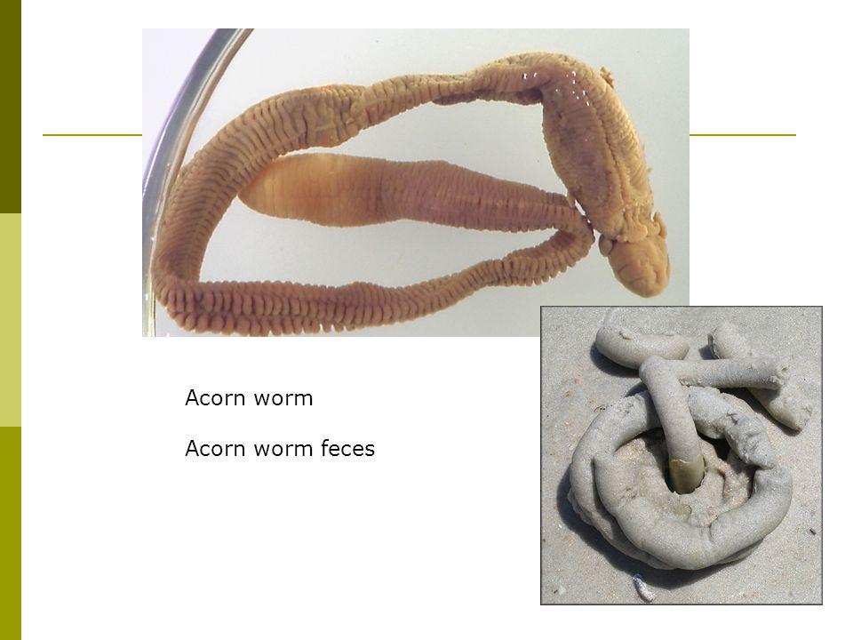 Acorn worm Acorn worm feces