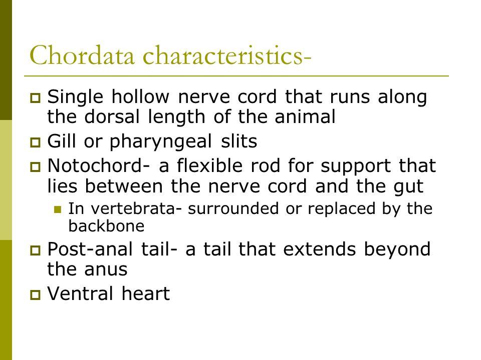 Chordata characteristics-