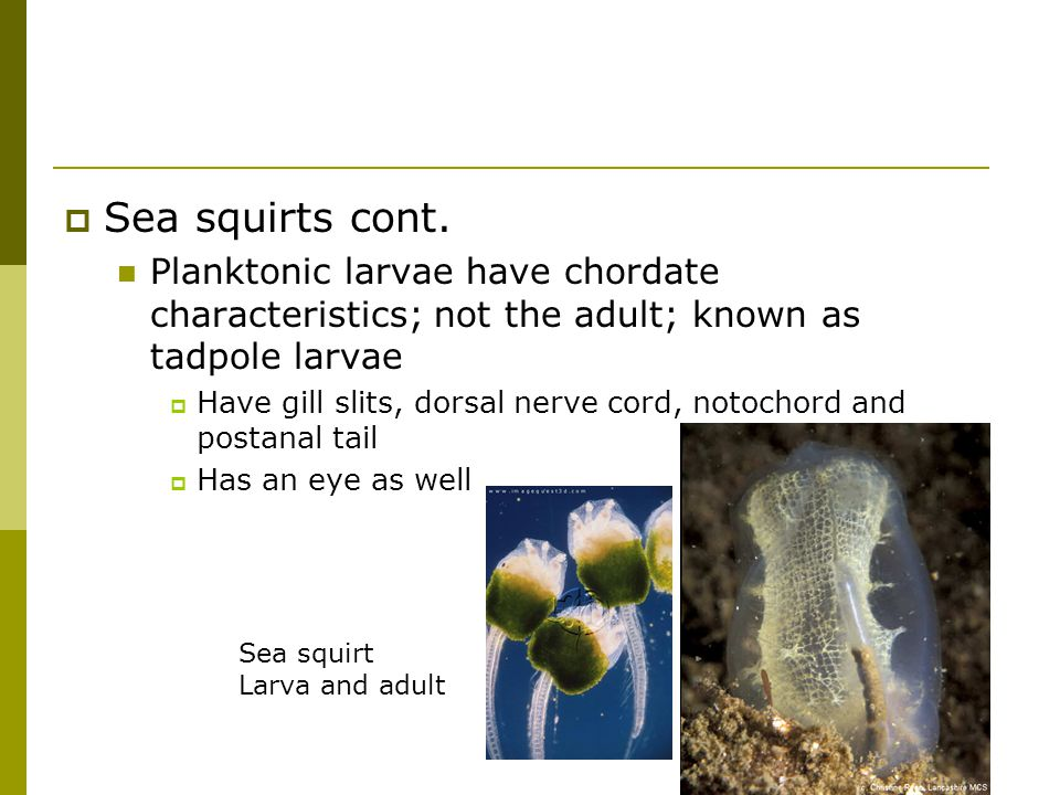 Sea squirts cont. Planktonic larvae have chordate characteristics; not the adult; known as tadpole larvae.