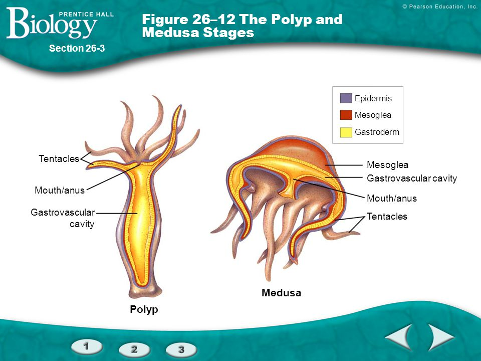 Figure 26–12 The Polyp and Medusa Stages