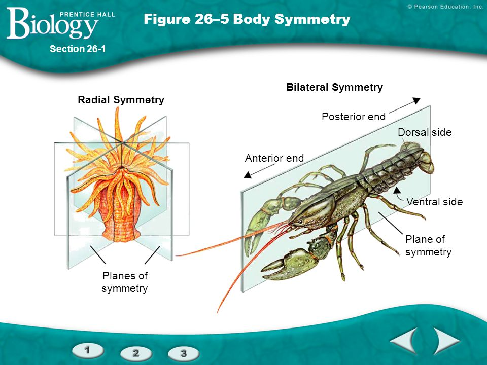 Figure 26–5 Body Symmetry Bilateral Symmetry Radial Symmetry