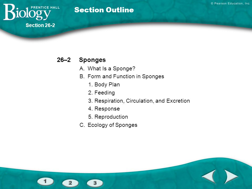 Section Outline 26–2 Sponges A. What Is a Sponge