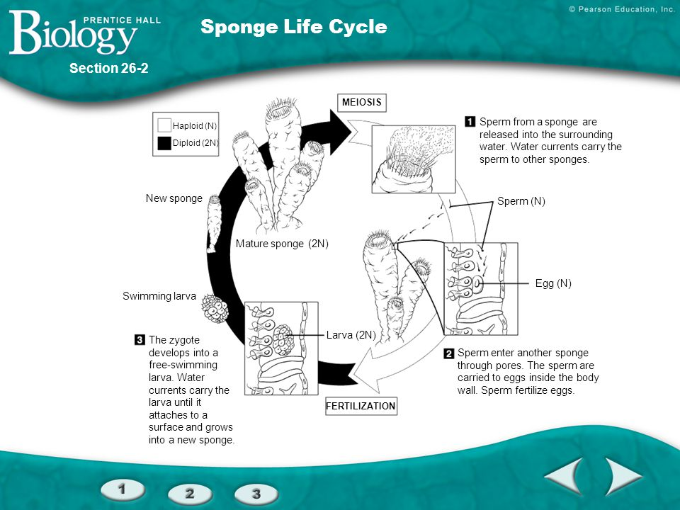 Sponge Life Cycle Section 26-2