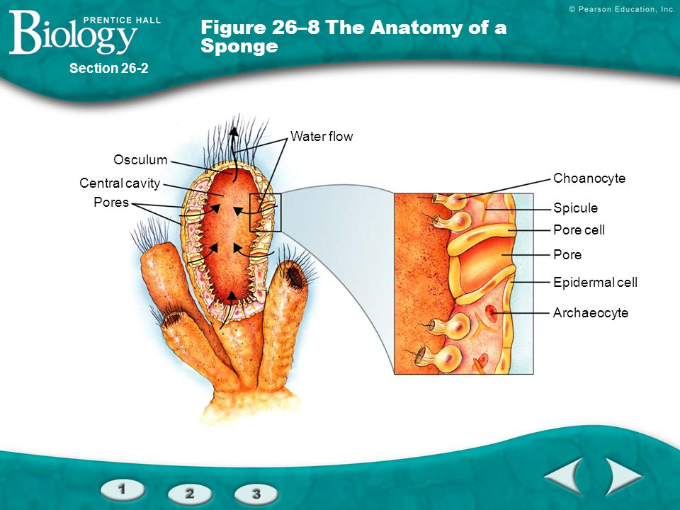 Figure 26–8 The Anatomy of a Sponge
