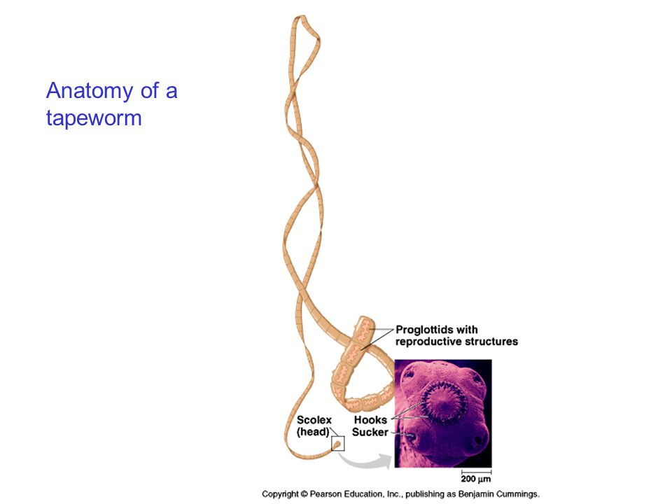Anatomy of a tapeworm