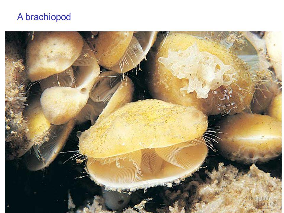 A brachiopod