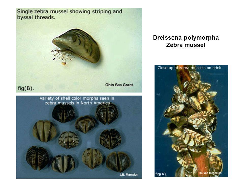Dreissena polymorpha Zebra mussel