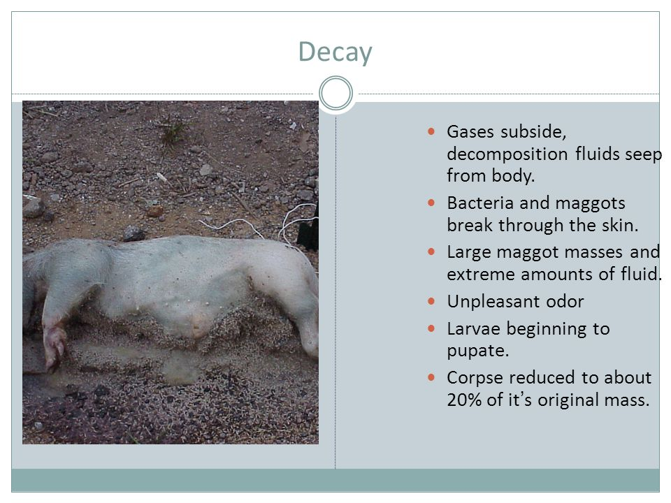Decay Gases subside, decomposition fluids seep from body.