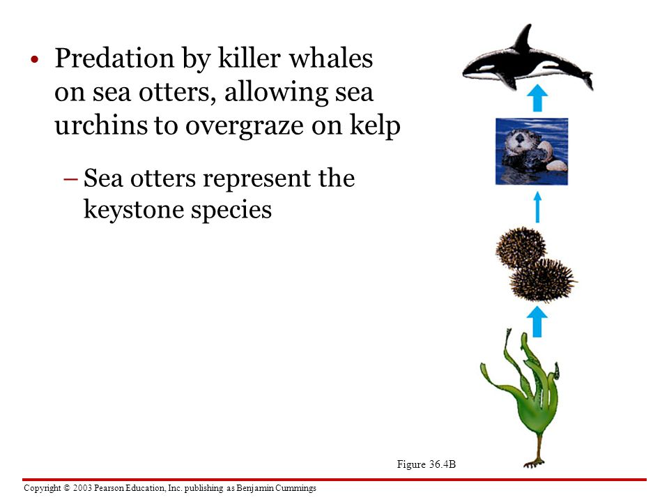 Predation by killer whales on sea otters, allowing sea urchins to overgraze on kelp