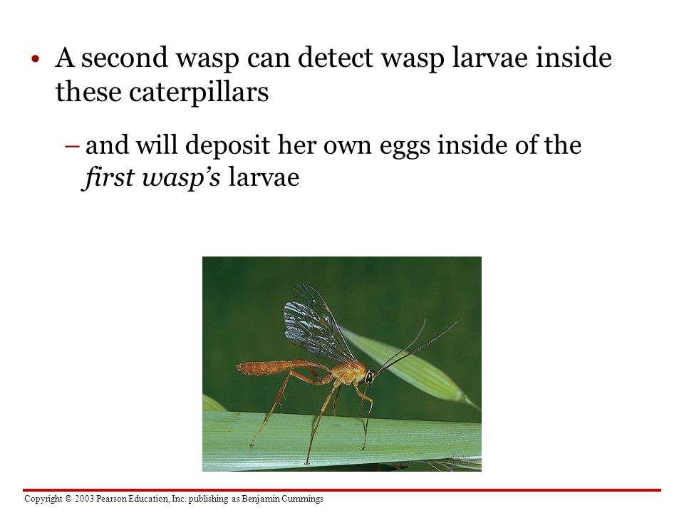 A second wasp can detect wasp larvae inside these caterpillars
