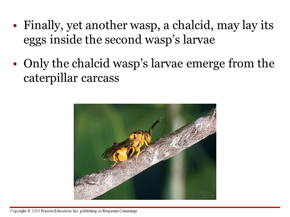 Finally, yet another wasp, a chalcid, may lay its eggs inside the second wasp's larvae