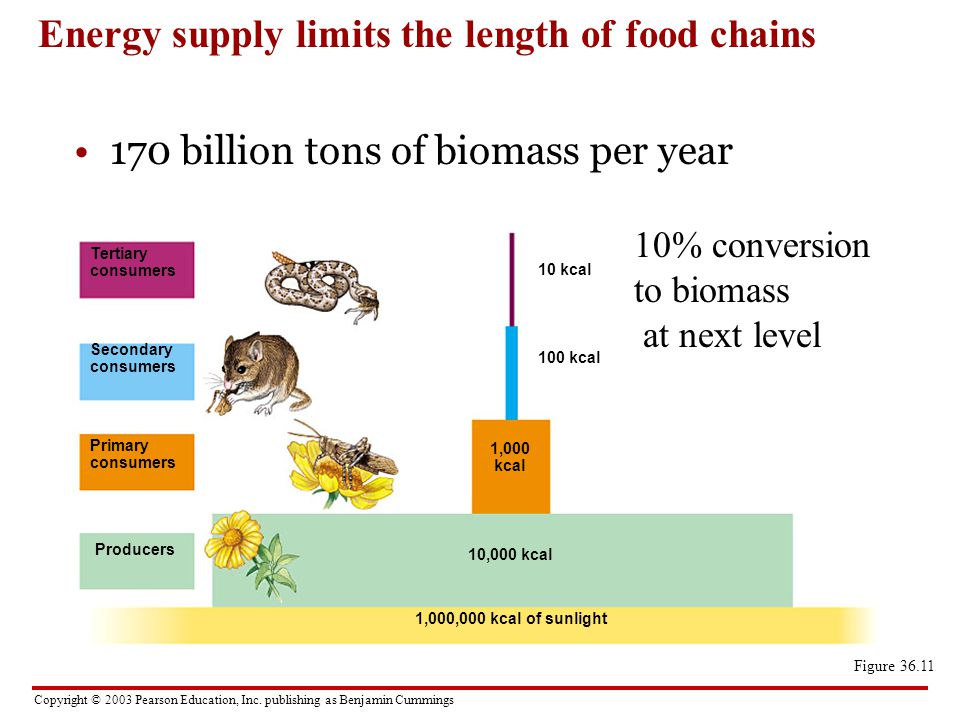 Energy supply limits the length of food chains