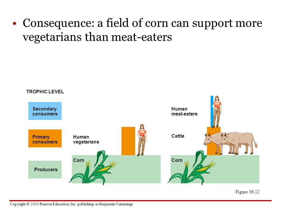 Consequence: a field of corn can support more vegetarians than meat-eaters