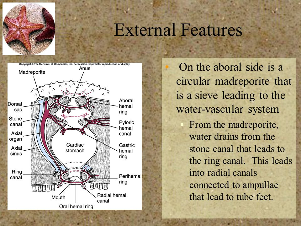 External Features On the aboral side is a circular madreporite that is a sieve leading to the water-vascular system.