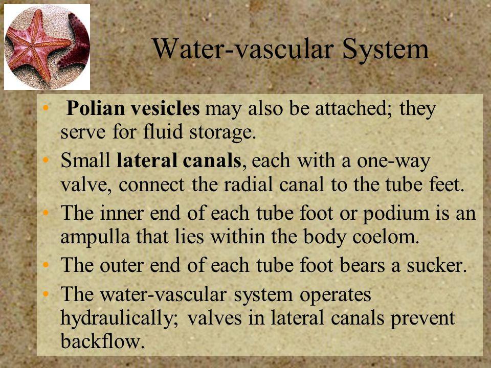 Water-vascular System
