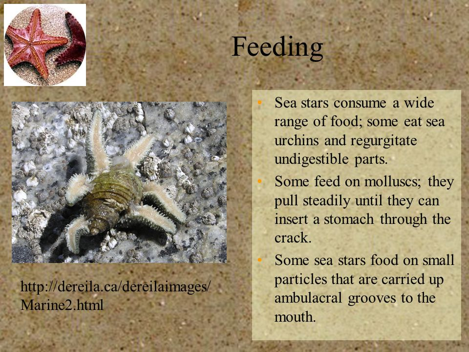 Feeding Sea stars consume a wide range of food; some eat sea urchins and regurgitate undigestible parts.