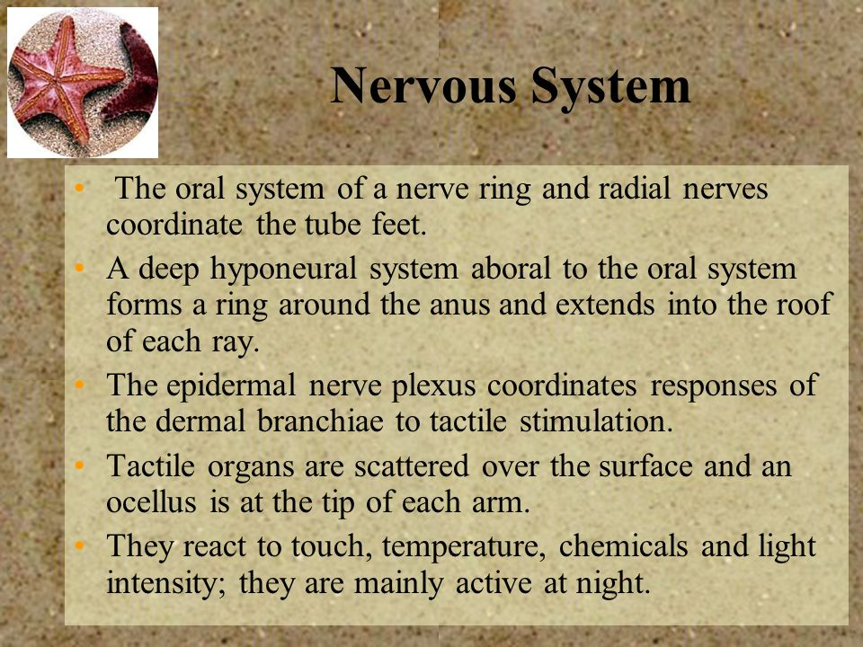 Nervous System The oral system of a nerve ring and radial nerves coordinate the tube feet.
