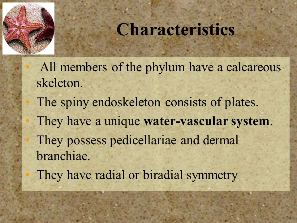 Characteristics All members of the phylum have a calcareous skeleton.