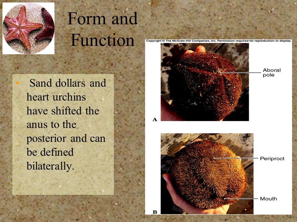 Form and Function Sand dollars and heart urchins have shifted the anus to the posterior and can be defined bilaterally.