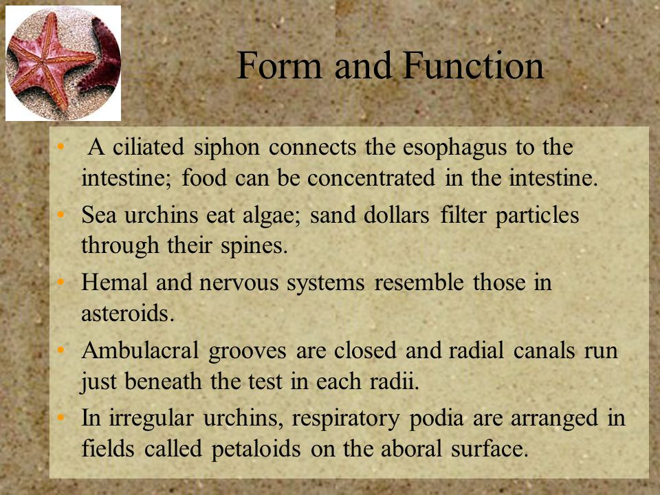 Form and Function A ciliated siphon connects the esophagus to the intestine; food can be concentrated in the intestine.